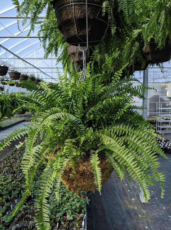 Ferns and other houseplants are sold at Ramsay Creek